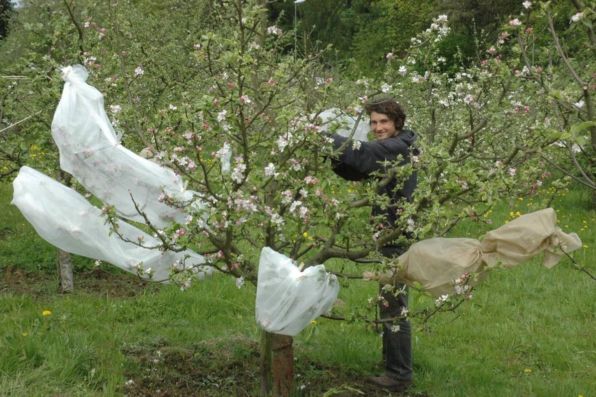 Apfelzuechtung-3-isolieren-der-bestaeubten-Blueten-large