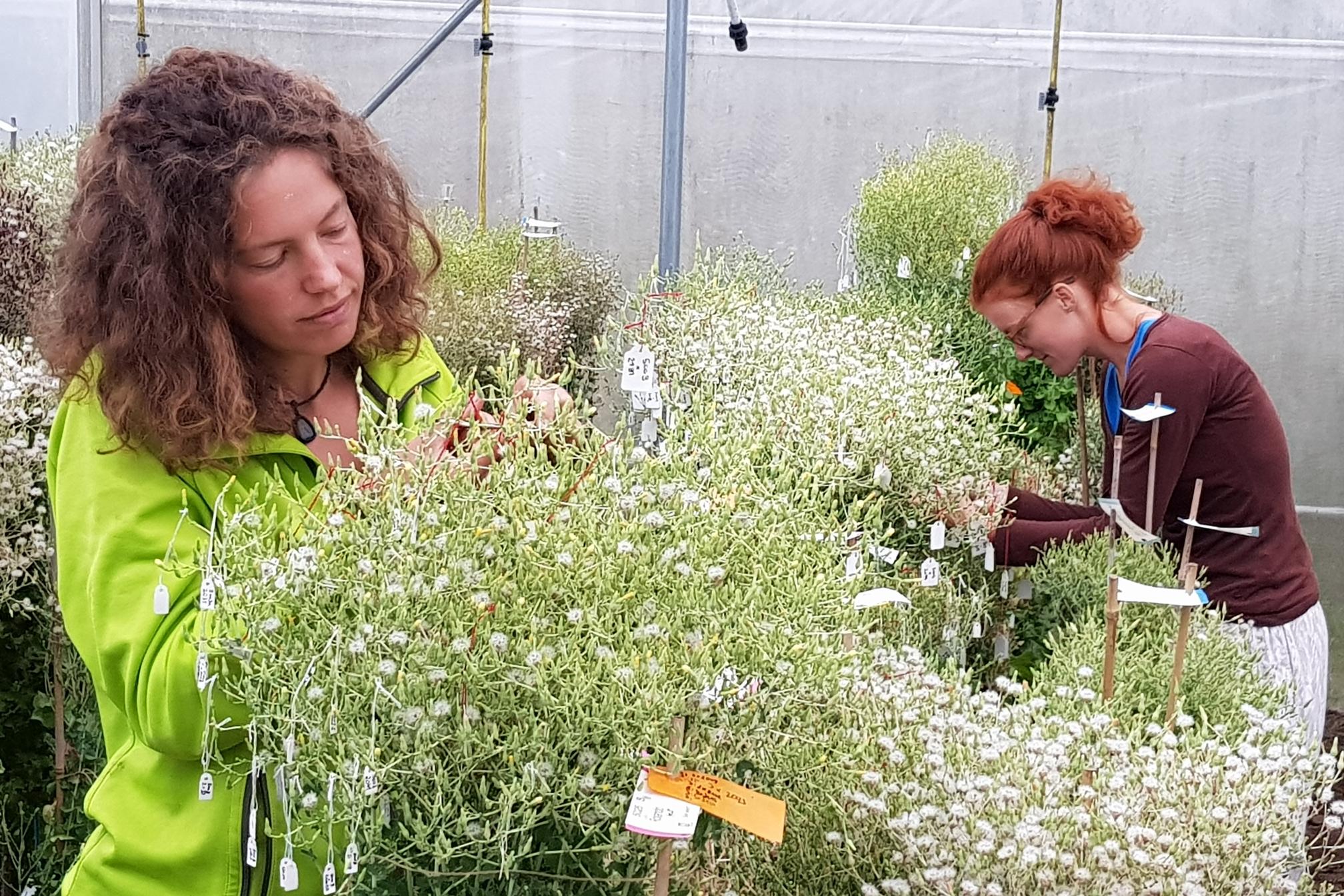 Mit vereinten Gärten - Ernte der Samen verschiedener Kreuzungen bei Sativa in Rheinau CH