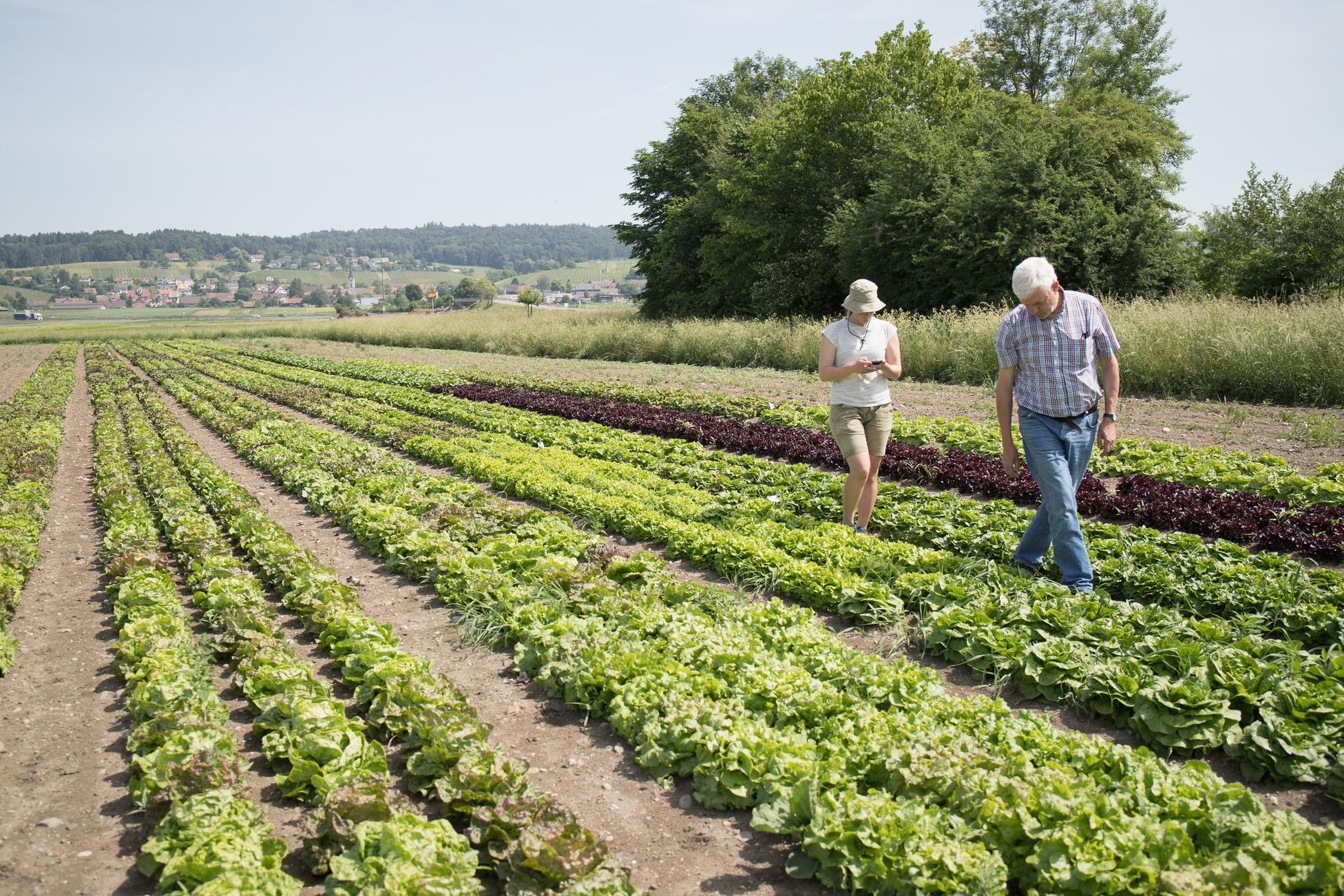 Mit vereinten Gärten - Feldbegehung Salat Sichtung