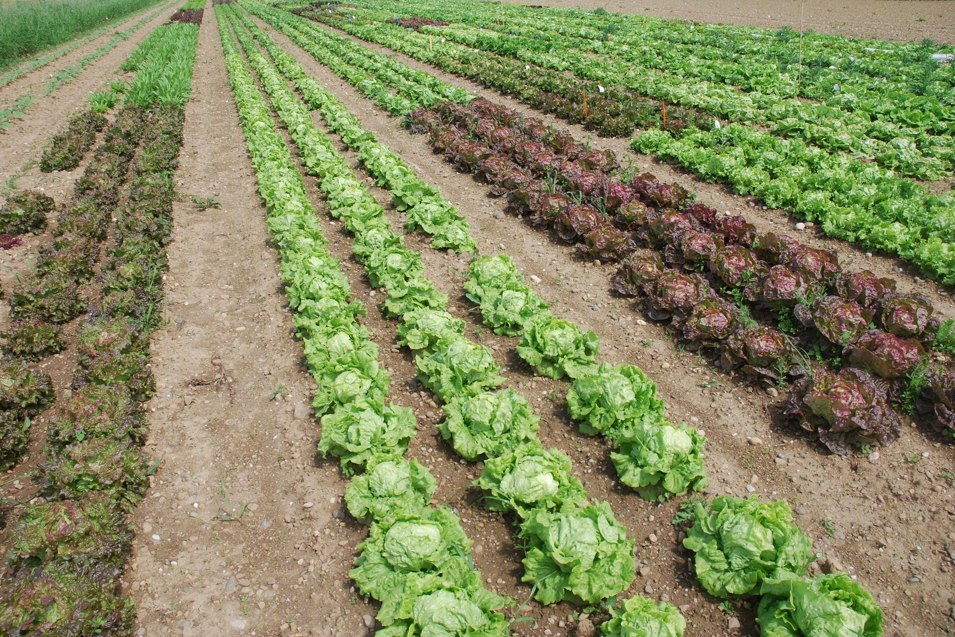 Mit vereinten Gärten - Salat Freiland Parzellen